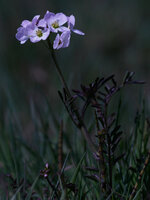 fly on cuckoo flower