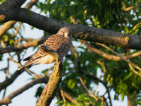 Young kestrel after fledging Falco tinnunculus