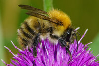 Common Carder Bee Bombus pascuorum
