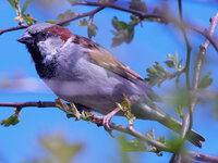 male house sparrow Passer domesticus