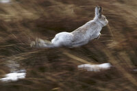 Mountain Hare mid-leap