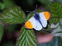 male orange tip Anthocharis cardamines