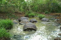 Giant Tortoises in shallow pool