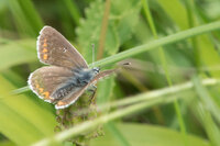 Brown Argus Aricia agestis Distinguished from the similar female Common Blue by the dark spot in the centre of the forewings.