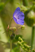Meadow Crane's-bill
