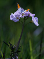 male orange tip on cuckoo flower Anthocharis cardamines on Cardamine pratensis