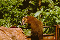 Coati raiding trailer