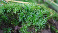 Common Smoothcap/Catherine's moss Atrichum undulatum