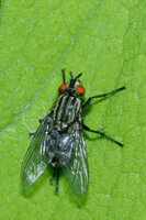 an unidentified flesh fly