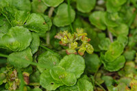 Opposite-leaved Golden-saxifrage Chrysosplenium oppositifolium