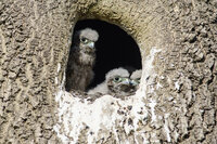 Kestrel chicks in nest Falco tinnunculus
