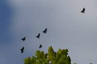 longhorn moths in flight