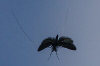 longhorn moth in flight