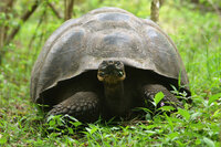 Giant tortoise staring at camera
