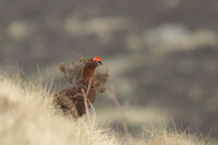Red grouse male