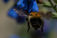 Tree bumblebee Bombus hypnorum
