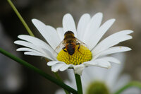 Unidentified hoverfly on Oxeye Daisy